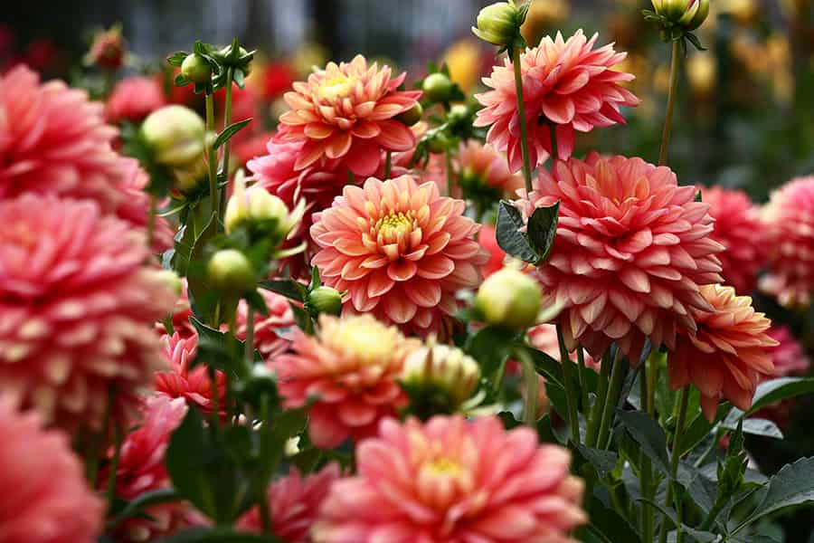 Plant dahlias, begonia, and canna tubers in May